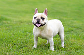 Cute white female French Bulldog standing on lawn.