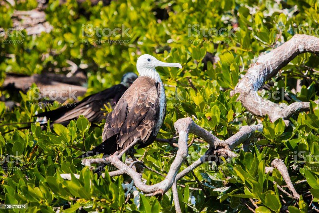 Weibliche Fregattvogels in Sian Ka, Mexiko – Foto