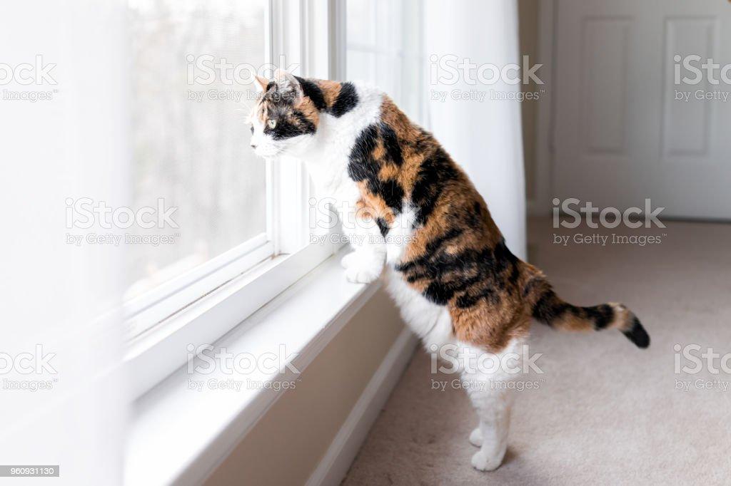 Gato malhado bonito engraçado feminino em pé de peitoril de janela de peitoril no truque de pernas traseiras, olhando para cima olhando entre cortinas persianas fora pelo vidro - foto de acervo