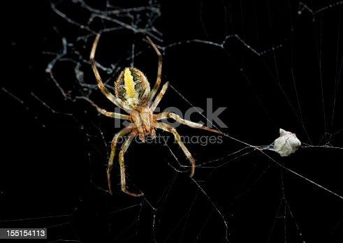 Female garden spider with eggs sac.