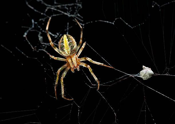 femme araignée des jardins avec des œufs sac - araignée photos et images de collection