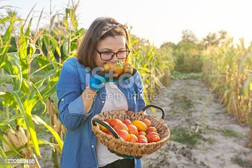 Female gardener in vegetable garden with basket of ripe tomatoes. Hobbies, gardening, growing organic vegetables in home garden, healthy natural food, copy space