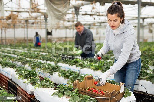 Portrait of happy cheerful female  gardener  picking fresh  strawberries to crate in hothouse, man on background