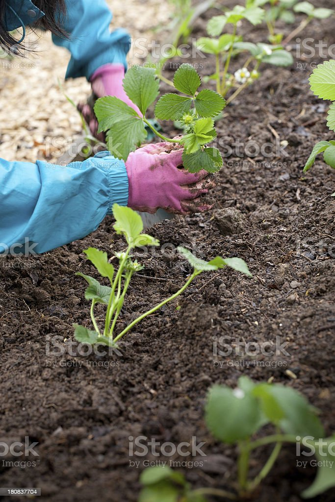 Female gardener planting strawberry plants royalty-free stock photo