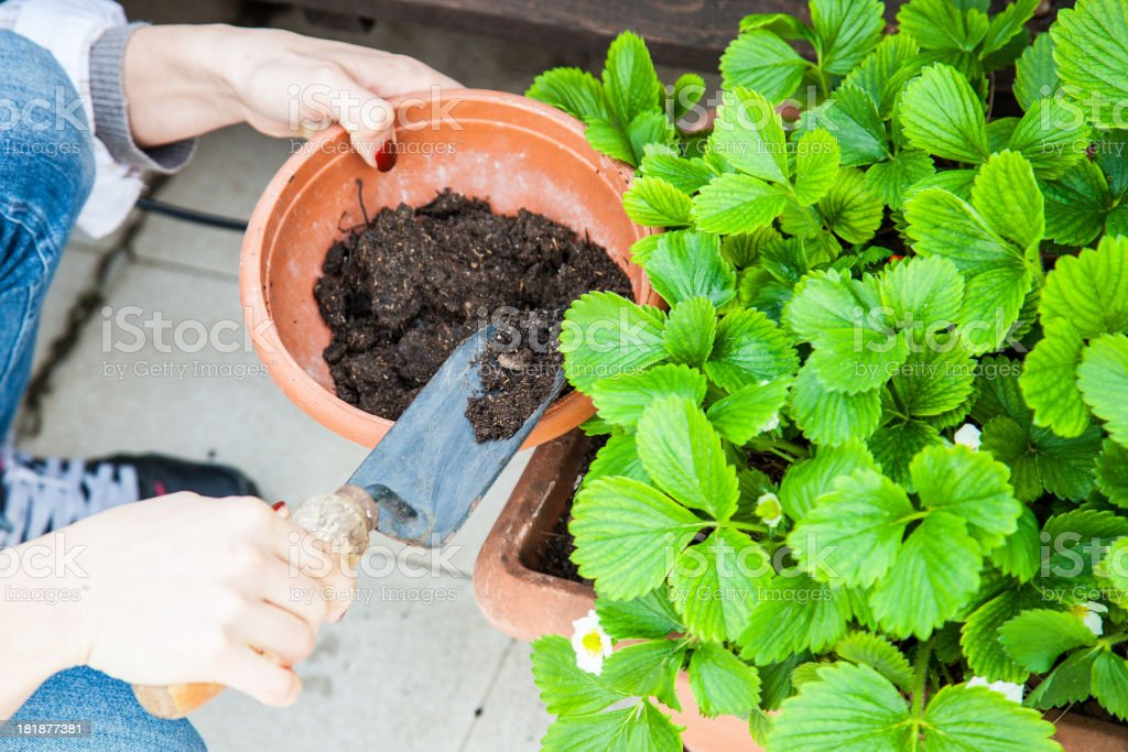 Female gardener take care of her strawberry plant royalty-free stock photo