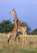Female giraffe with its baby. Mabula Private Game Reserve, South Africa.