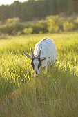 A female goat grazes in the lush tall grass at sunset. Rural scene, copy space, selective focus, vertical composition
