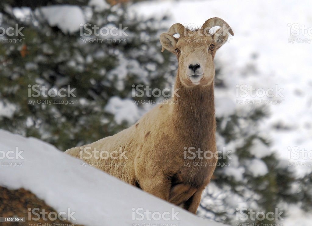 Female Goat royalty-free stock photo