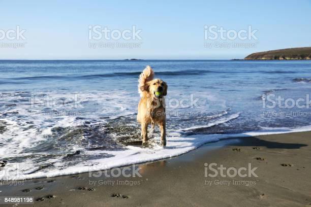 Female golden retriever dog playing at the beach picture id848981198?b=1&k=6&m=848981198&s=612x612&h=dkczbdzjqvmocug6y0b4yhqb0e3f5dciemyvejy tgu=