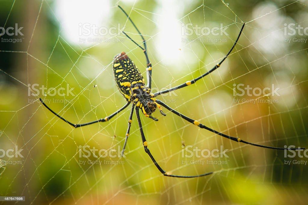 female Golden Web Spider stock photo