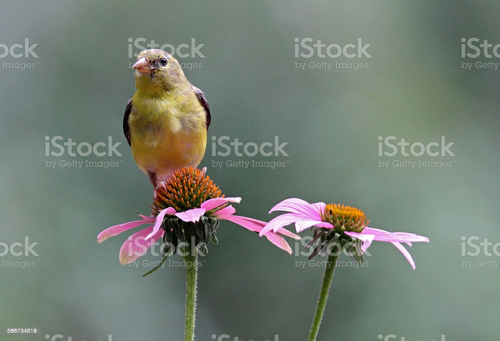 Female Goldfinch on a Coneflower stock photo