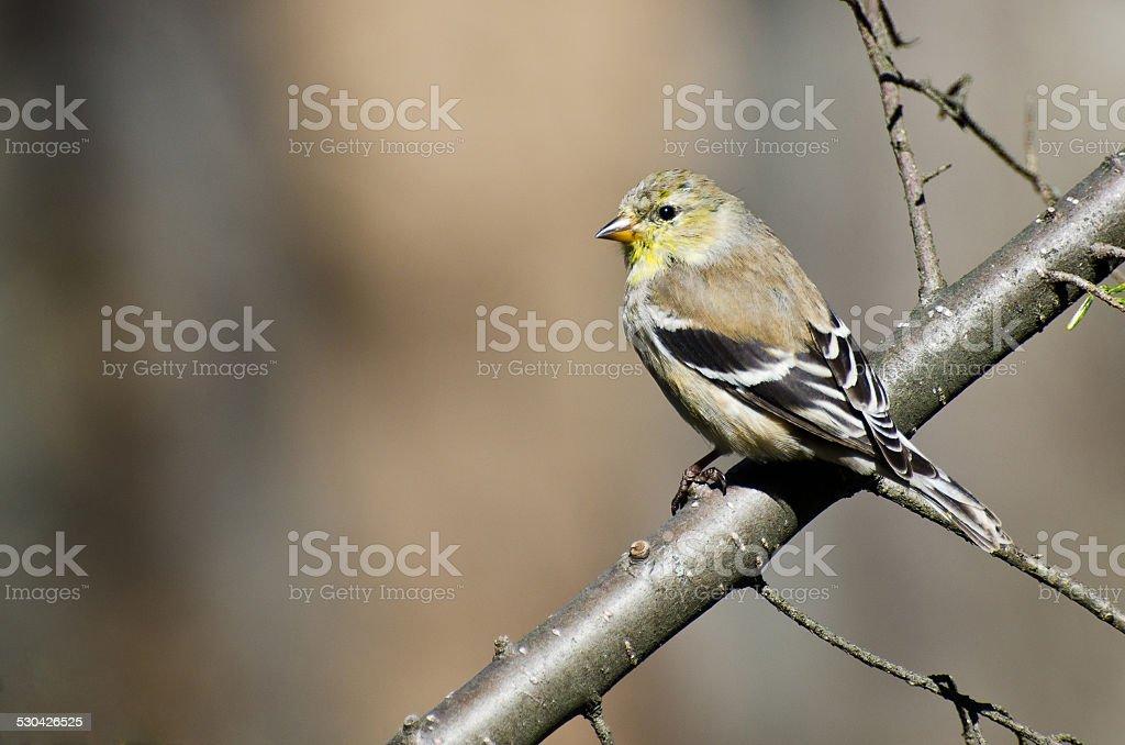 Femme Goldfinch niché dans un arbre - Photo