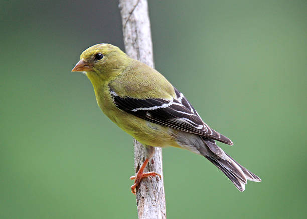 Female Goldfinch A female American Goldfinch (Carduelis tristis) perching on a branch in summer. american goldfinch stock pictures, royalty-free photos & images