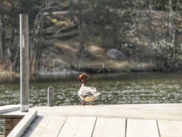 kvinnlig storskrake - malin strandvall bildbanksfoton och bilder