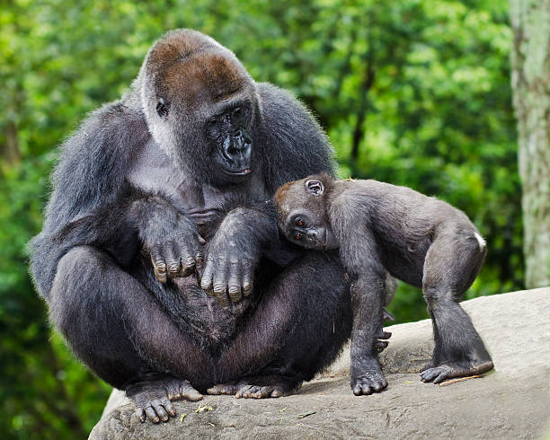 female gorilla caring for young - gorilla stock photos and pictures