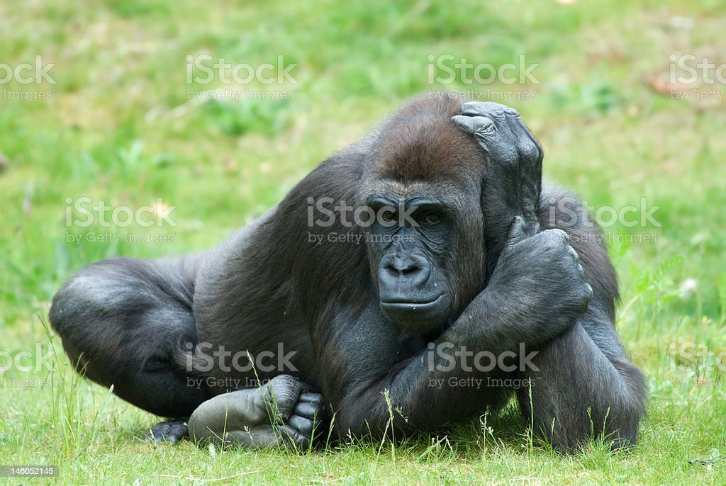 female gorilla royalty-free stock photo