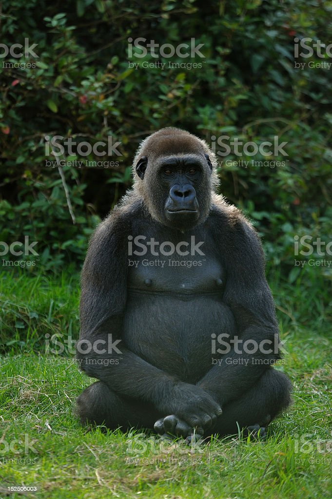 female gorilla royalty-free stock photo