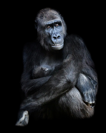 Female gorilla sitting with baby gorilla in her arms