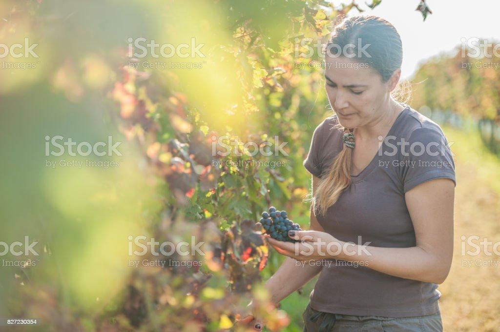 Female Grape Harvester stock photo