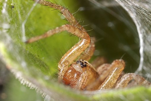 A yellowish-orange spider with large fangs waits in her web for prey