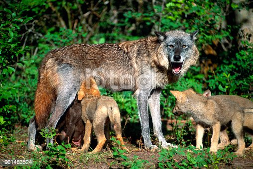 A female Gray Wolf stands while nursing her pups. Montana.