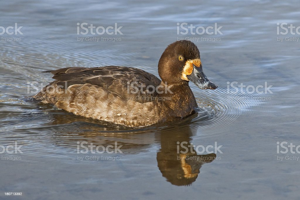 Female Greater Scaup royalty-free stock photo