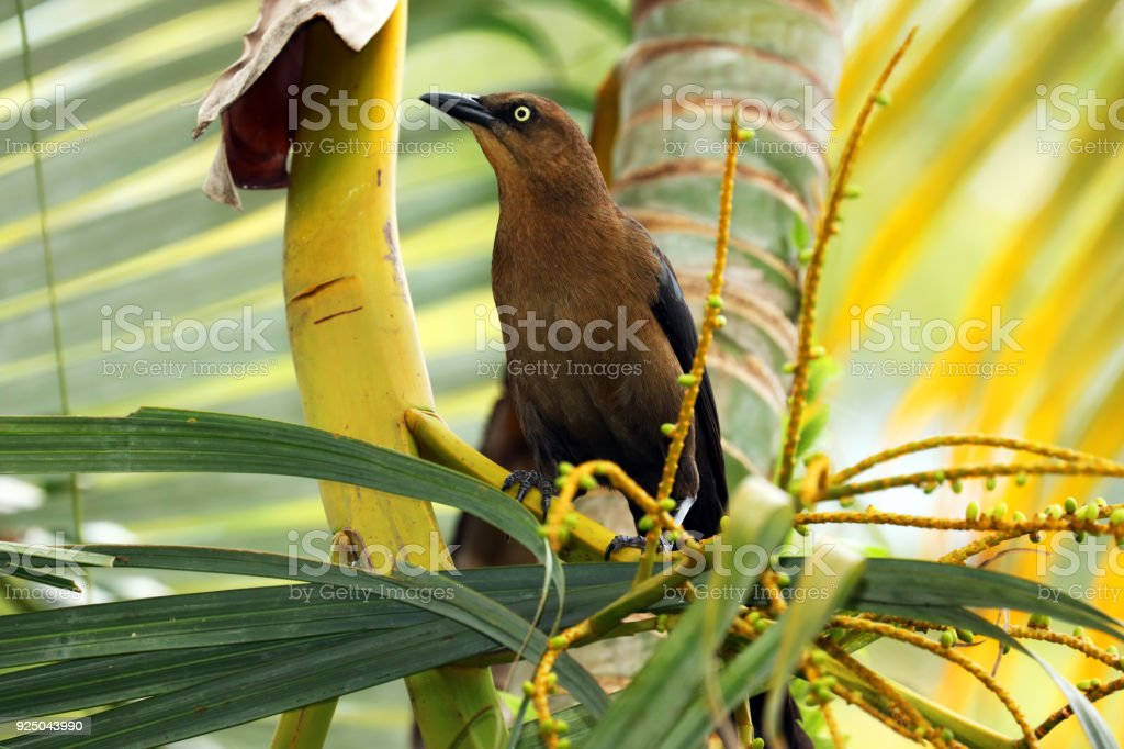 Female Great-tailed Grackle in a Palm tree, Bird Portrait, Costa Rica.