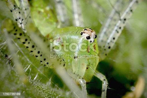 Close-up of details of face, eyes, chelicera, of a bright green beneficial garden creature.