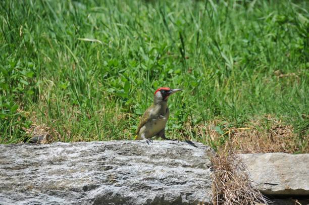 Female green woodpecker stock photo