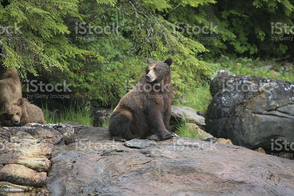 Female Grizzly Bear at Khutzeymateen Inlet. stock photo
