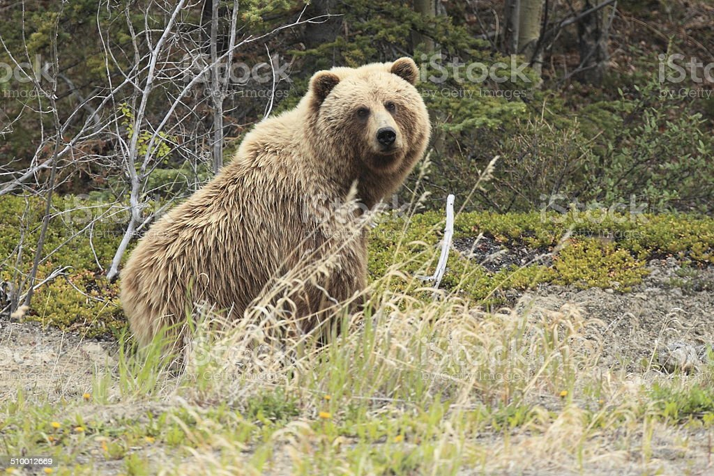 Female Grizzly Bear near Carcross, Yukon Territory, Canada. stock photo