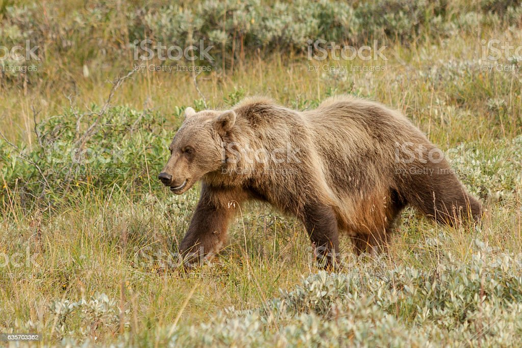 Female grizzly bear walking through the tundra. royalty-free stock photo