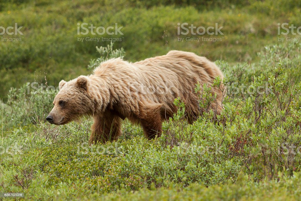 Female grizzly bear walking through the willows. royalty-free stock photo