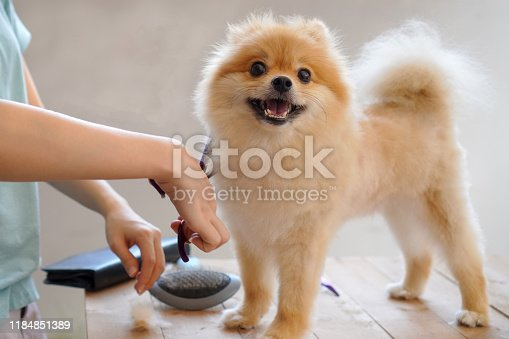 female groomer haircut Pomeranian dog on the table of outdoor. process of final shearing of a dog's hair with scissors. salon for dogs.