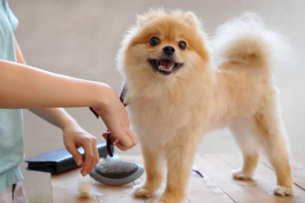Female groomer haircut pomeranian dog on the table of outdoor process picture id1184851389?b=1&k=6&m=1184851389&s=612x612&w=0&h=6uycta 5ce5cotznxibjwwnopuwtmpyqluuiokjzvxu=