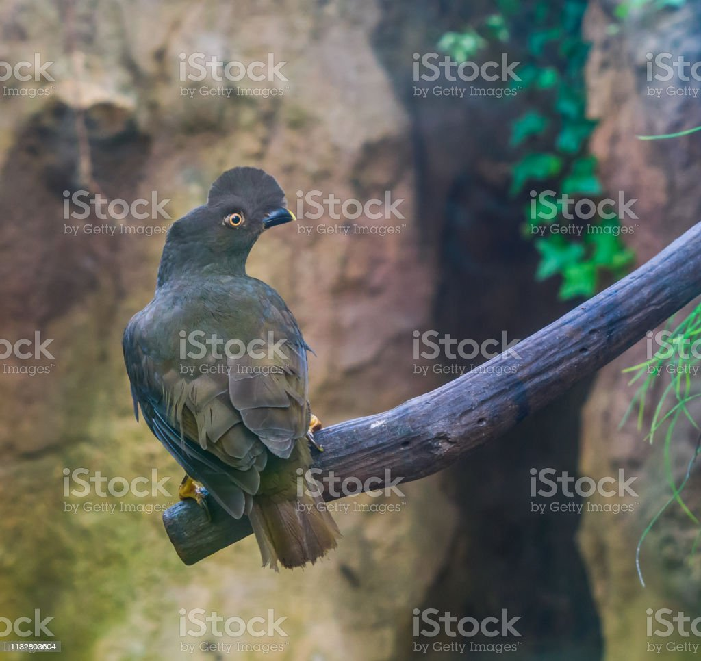 Female guianan cock of the rock sitting on a branch, crested tropical...