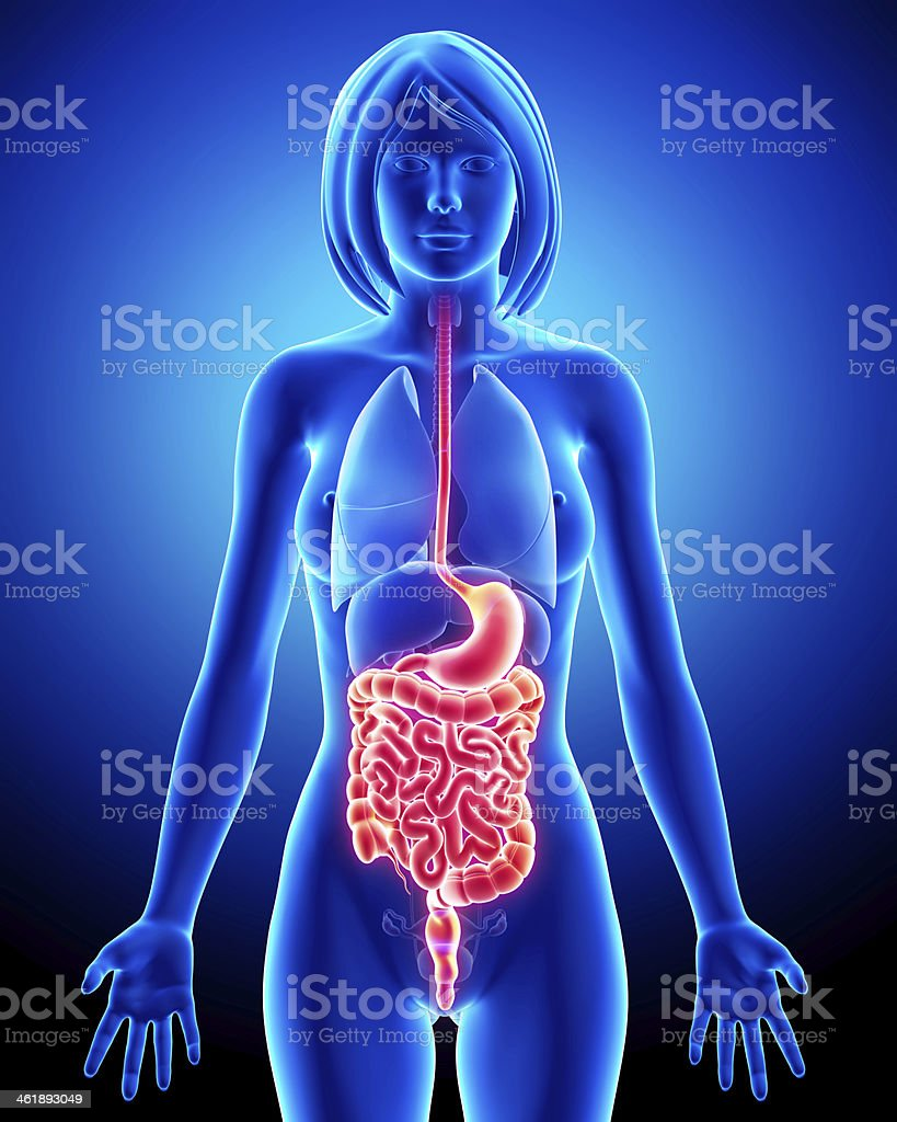 Female Guts And Stomach Anatomy With Full Body Stock Photo More