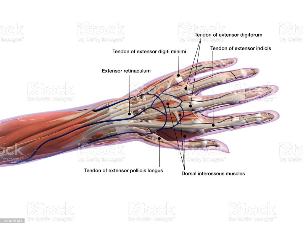 Female Hand And Wrist Anatomy Labeled On White Background Stock