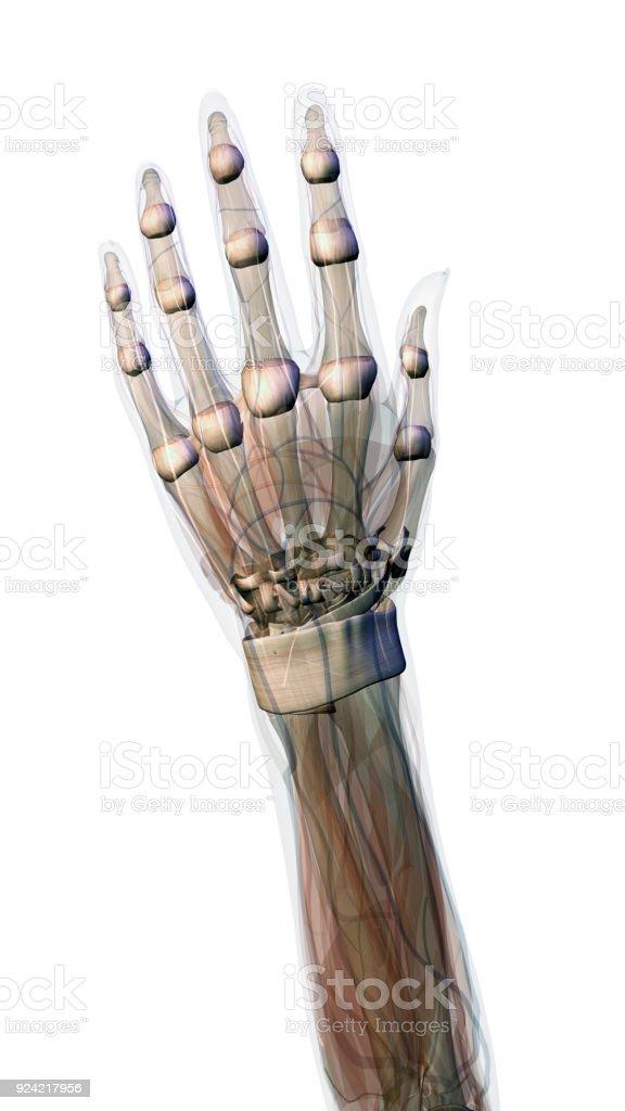 Female Hand And Wrist Anatomy On White Background Stock Photo & More ...