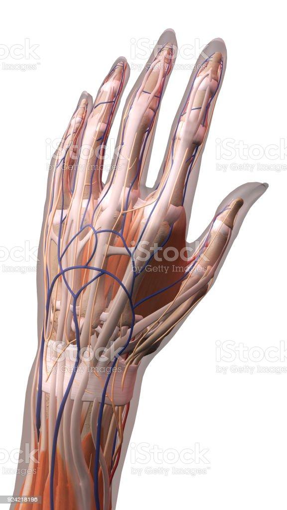 Weibliche Hand Und Handgelenk Anatomie Auf Weißem Hintergrund Stock ...