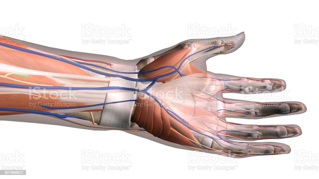 Female Hand And Wrist Anatomy Palm View On White Background Stock ...