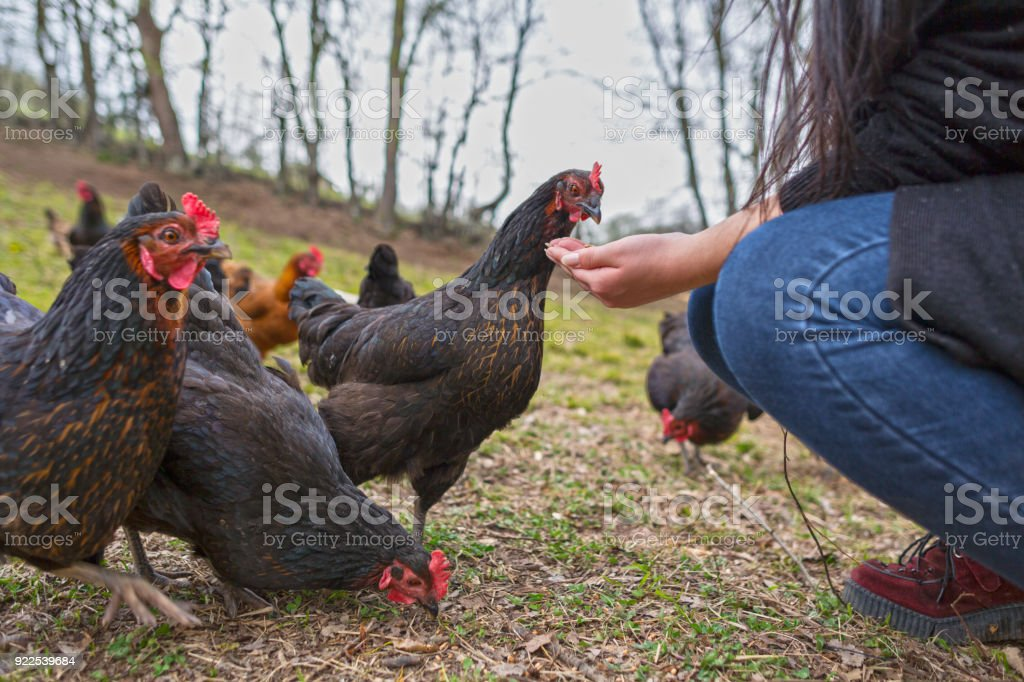 Female Hand  Feeding Chicken with Wheat in the Garden stock photo
