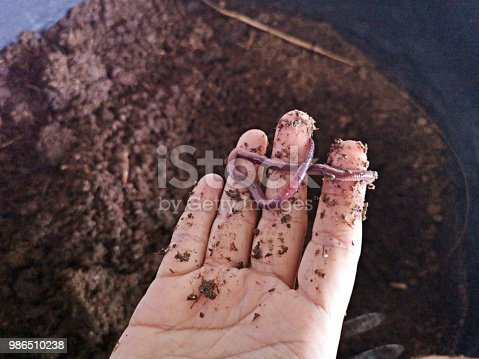 Female hand holding an earthworm by fingers over nutrient-rich organic fertile soil in a container.