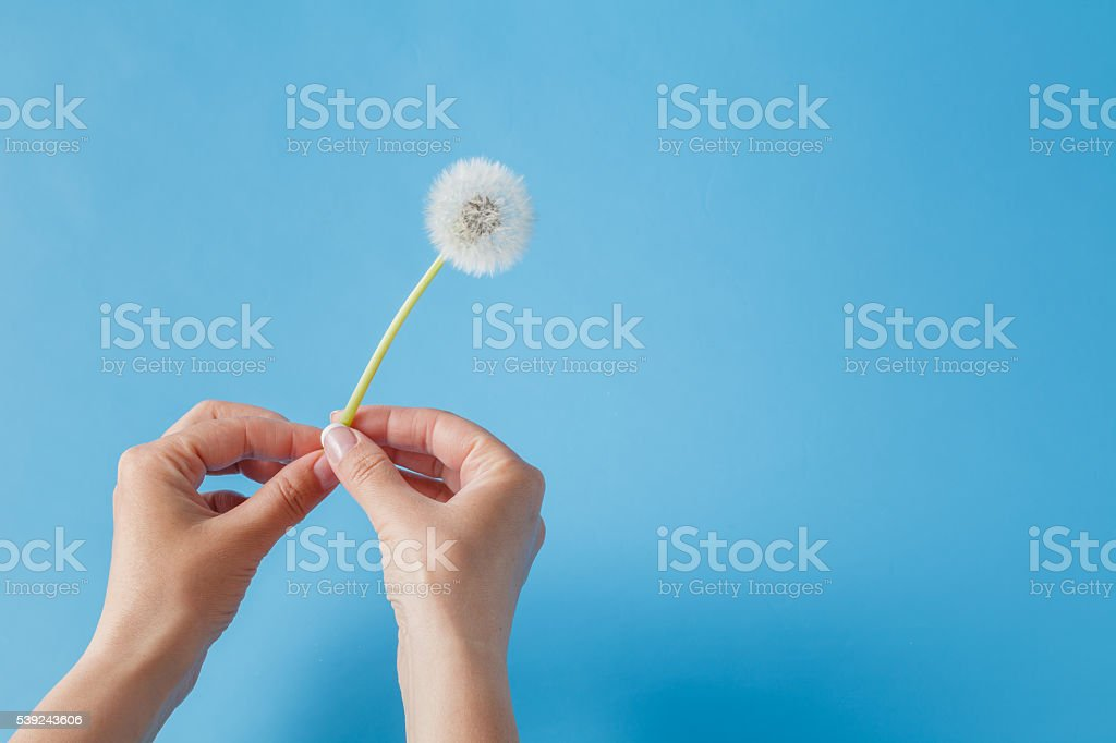 Female hand holding dandelion foto de stock libre de derechos