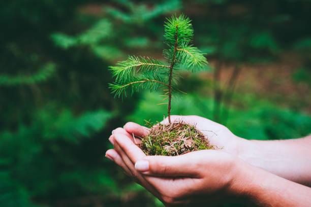 雌性手捧發芽的王爾德松樹在自然綠色森林。地球日節約環境理念。苗木種植育苗 - 幼苗 個照片及圖片檔