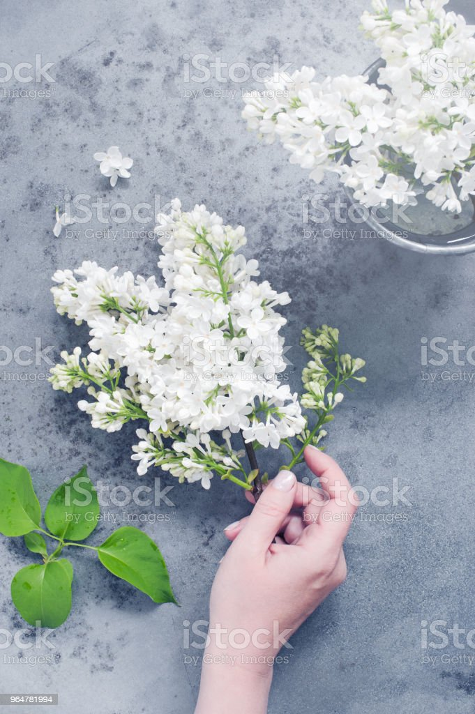 Female hand holding the branch of white lilac royalty-free stock photo