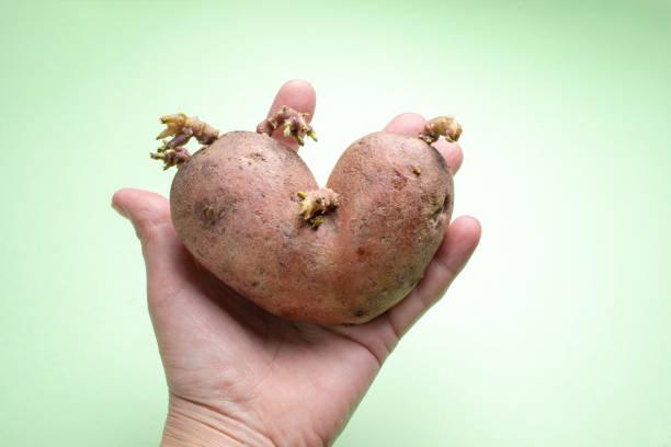 weibliche hand ist eine hässliche kartoffel auf grünem hintergrund. - siamesische zwillinge stock-fotos und bilder