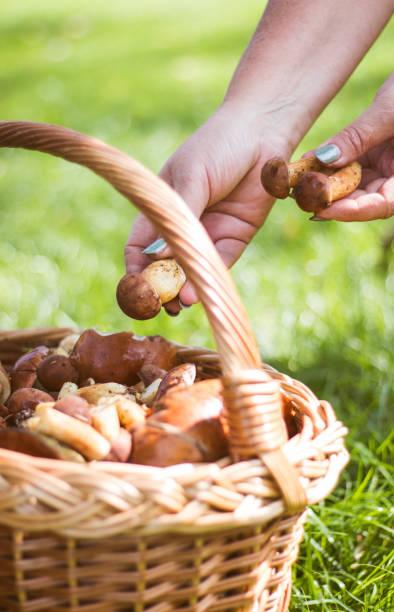 kvinnlig hand placera svamp i korgen - höst plocka svamp bildbanksfoton och bilder