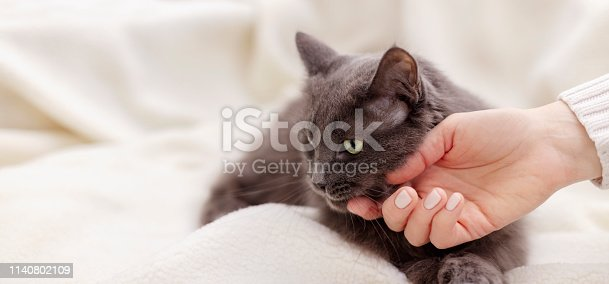 Female hand playing with a beautiful gray fluffy cat. Selective focus.