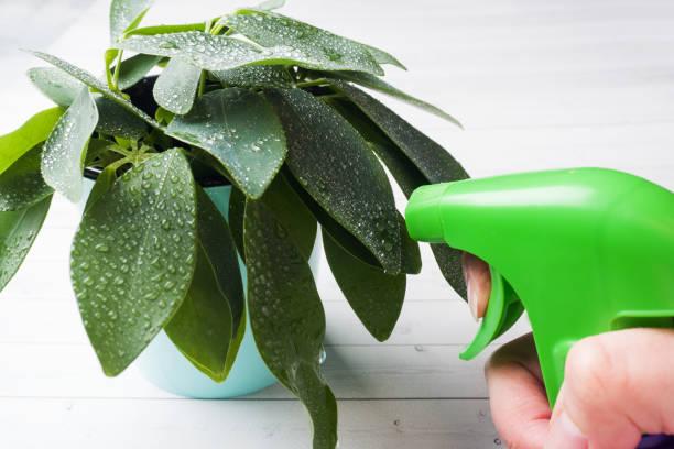 água de pulverização da mão fêmea na planta home verde - squeeze bottle - fotografias e filmes do acervo